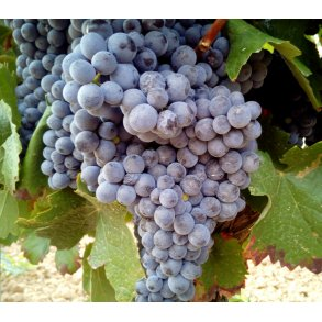Vine uden alkohol